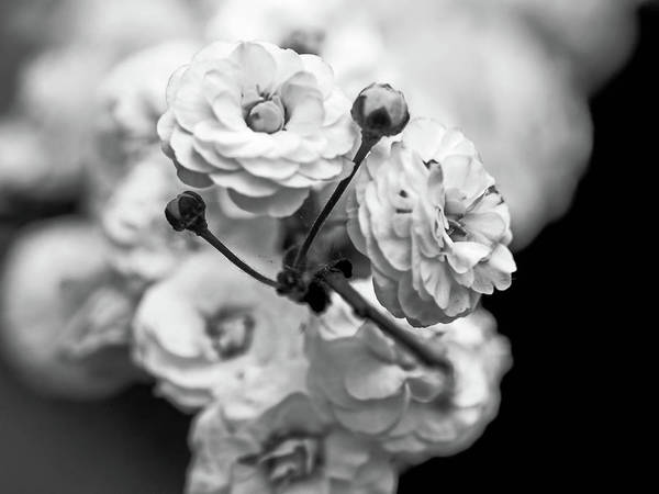 Wall Art - Photograph - Flower In Black And White by Elijah Knight