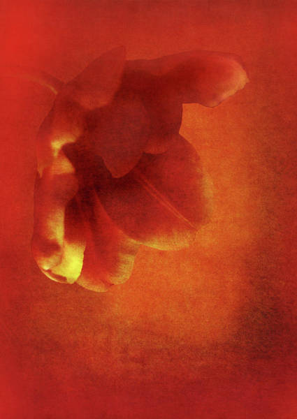 Posies Photograph - Flower In Red by Johan Lilja