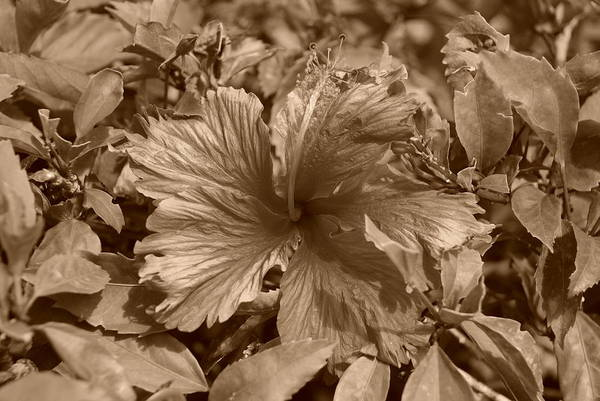 Portriat Photograph - Flower In Sepia by Rob Hans
