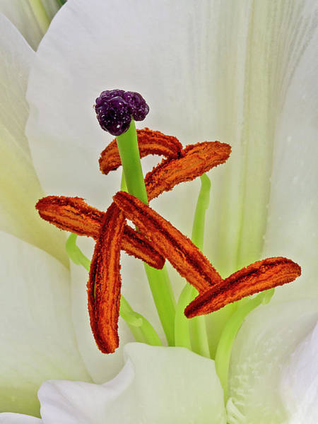 Photograph - Flower Macro - Lily 2 by Bob Slitzan