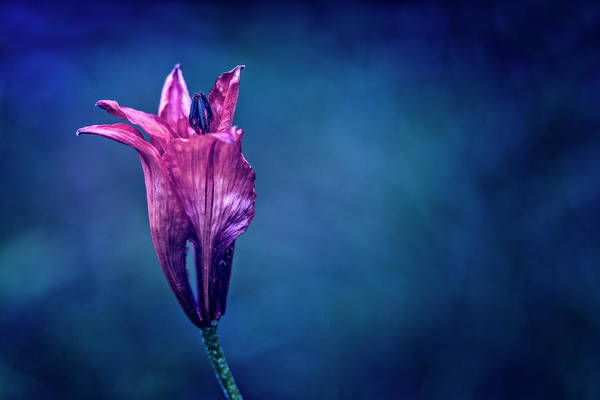 Photograph - Flower On Blue Background by Roberto Pagani