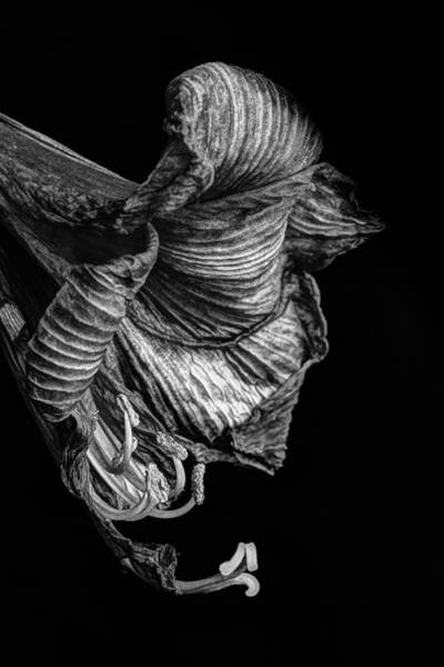 Photograph - Amaryllis by Peter OReilly