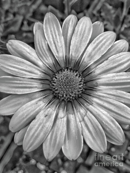 Photograph - Flower Power - Bw by Tony Baca