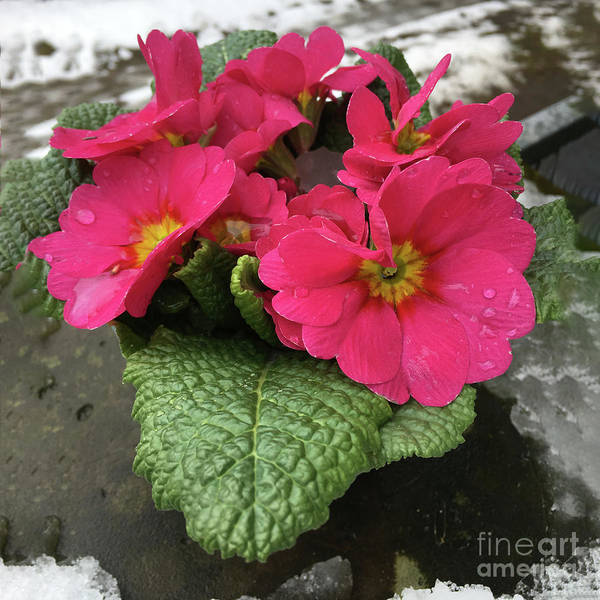 Photograph - Flower Primula Vulgaris by Marina Usmanskaya