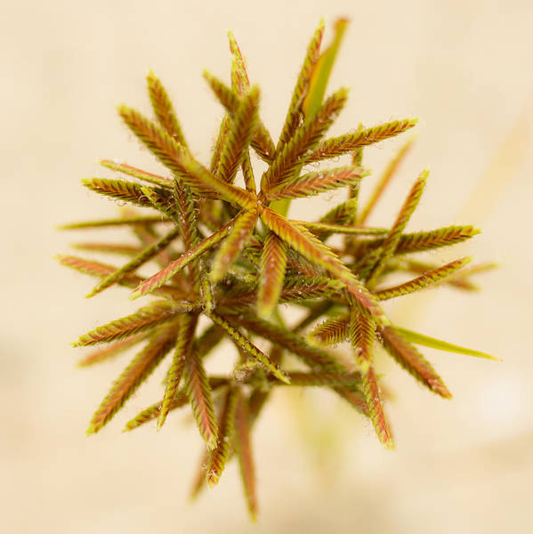Pine Needles Painting - Flower Star by Jacquie Gouveia