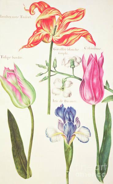 Floral Watercolor Drawing - Flower Studies  Tulips And Blue Iris  by Nicolas Robert