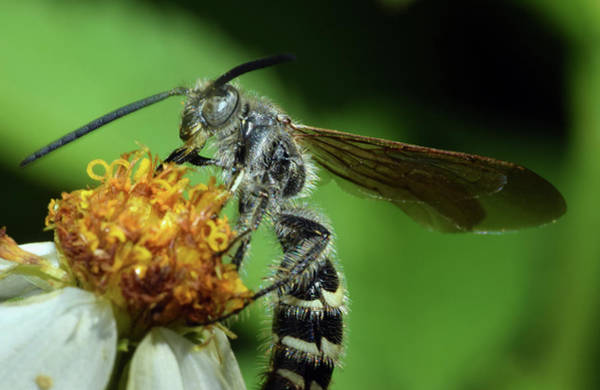 Photograph - Flower Wasp - Tiphiidae by Larah McElroy