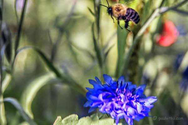 Photograph - Flowerbuzz.... by Paul Vitko