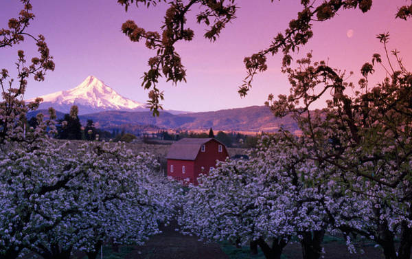 Rising Sun Photograph - Flowering Apple Trees, Distant Barn by Panoramic Images