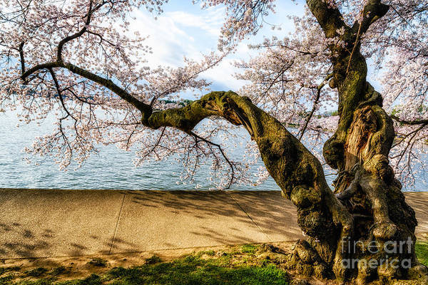 Photograph - Flowering Cherry Tree Twisted Trunk by Thomas R Fletcher