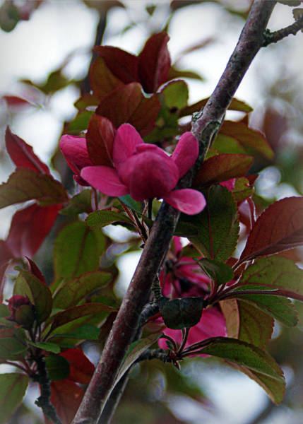 Photograph - Flowering Crabapple by Cricket Hackmann