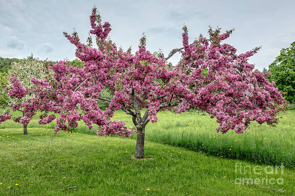 Crab Photograph - Flowering Crabtree by Edward Fielding