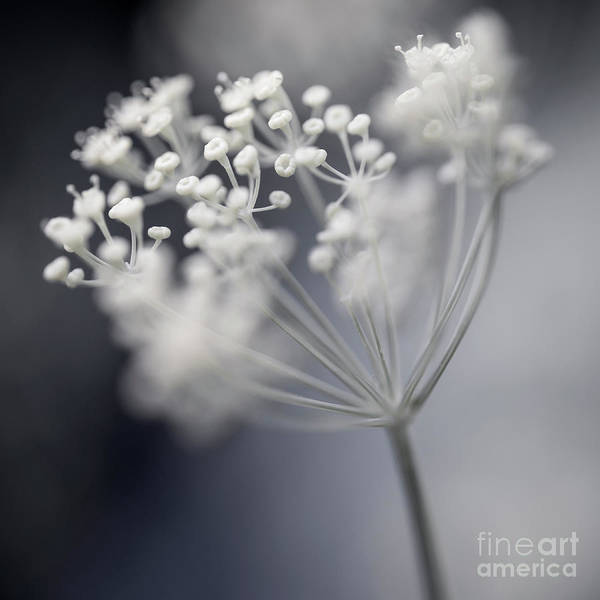 Wall Art - Photograph - Flowering Dill Cluster by Elena Elisseeva
