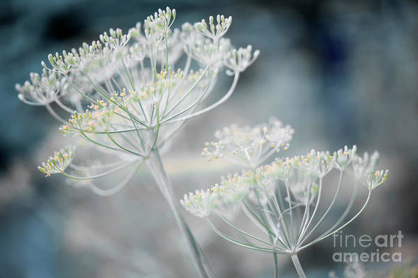 Photograph - Flowering Dill Clusters by Elena Elisseeva