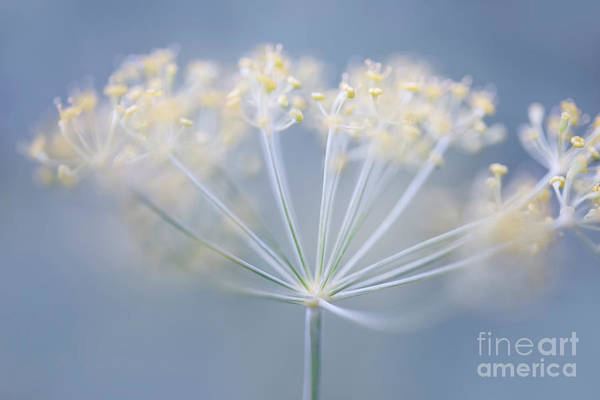 Herbs Photograph - Flowering Dill by Elena Elisseeva