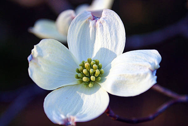 Photograph - Flowering Dogwood by Cricket Hackmann