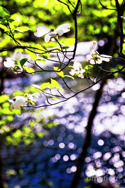 Wall Art - Photograph - Flowering Dogwood Tree Along A River by George Oze