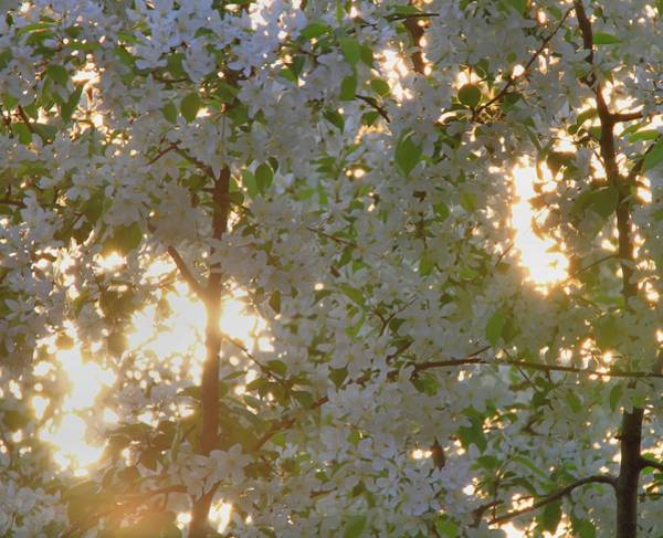 Photograph - Flowering Dogwood Tree Through Sunrise by Dan Sproul