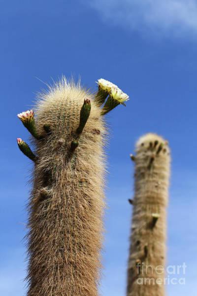 Photograph - Flowering Echinopsis Atacamensis Cactus Bolivia by James Brunker