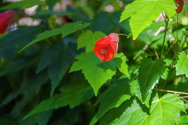Photograph - Flowering Maple by Bill Cannon
