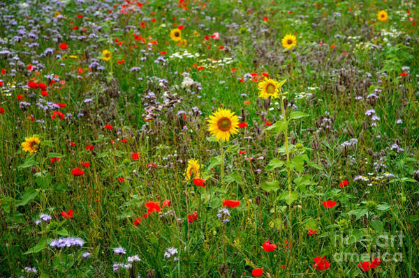 Photograph - Flowering Meadow by Ari Salmela