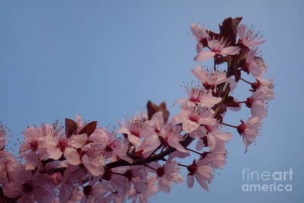 Photograph - Flowering Of The Plum Tree 2 by Jean Bernard Roussilhe