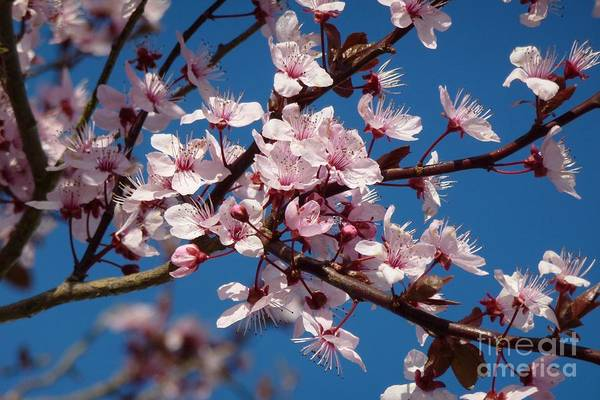 Photograph - Flowering Of The Plum Tree 5 by Jean Bernard Roussilhe