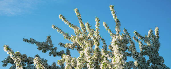 Wall Art - Photograph - Flowering Pear Tree Number 2 by Steve Gadomski