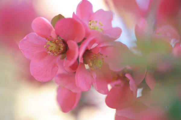 Photograph - Flowering Pink Japanese Quince by Jenny Rainbow