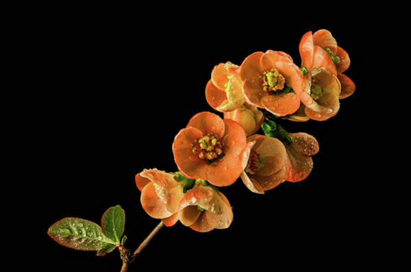 Photograph - Flowering Quince Orange by Mary Jo Allen