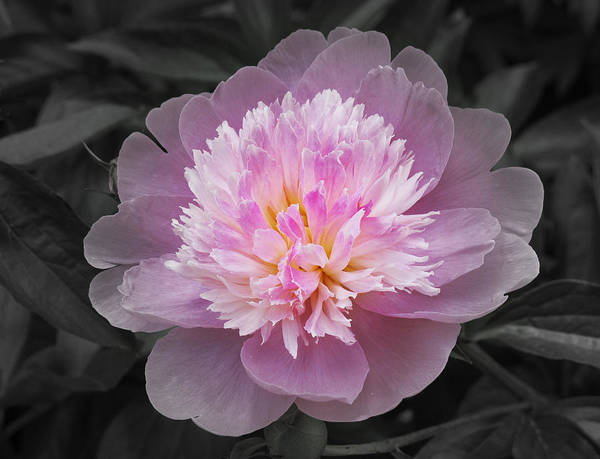Native Garden Wall Art - Photograph - Flowering Spring Peony In Pink And Grey by Garth Glazier