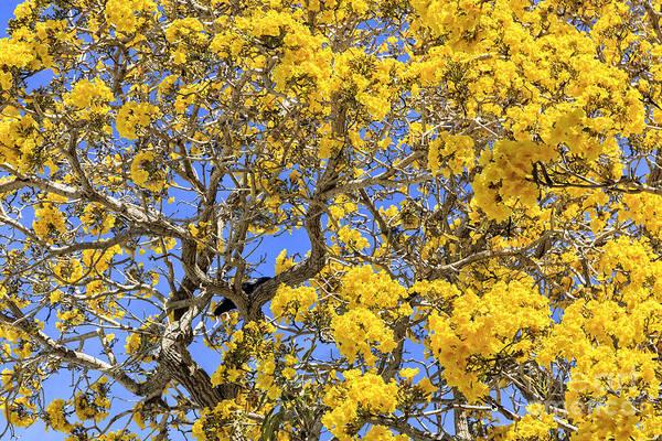 Photograph - Flowering Tabebuias Tree by Edward Fielding