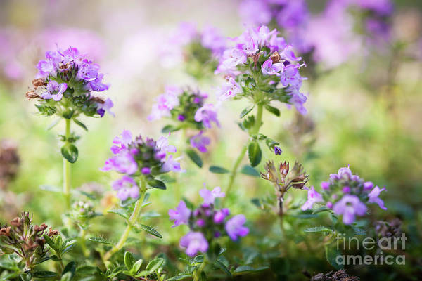 Photograph - Flowering Thyme by Elena Elisseeva