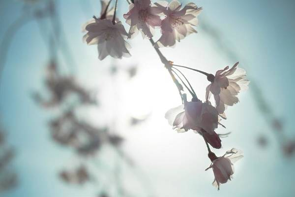 Photograph - Flowering Tree 02 by Jeanette Fellows