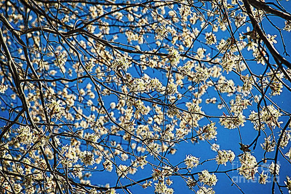 Wall Art - Photograph - Flowering Tree Branches Against Blue Sky by George Oze