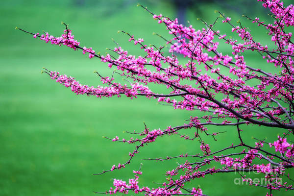 Wall Art - Photograph - Flowering Tree Branches by George Oze