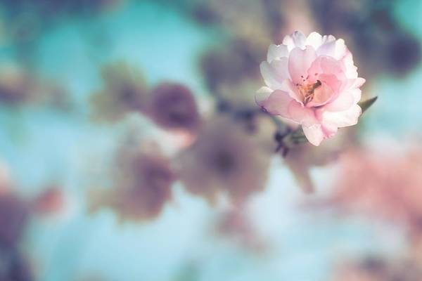 Photograph - Flowering Tree by Jeanette Fellows