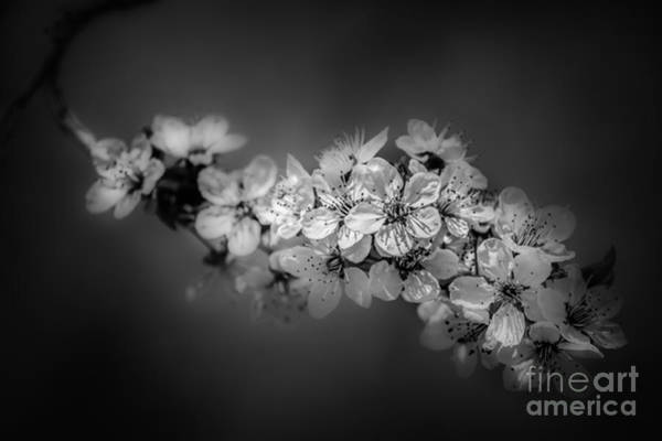 Photograph - Flowering Tree  by Michael Arend