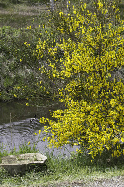 Photograph - Flowering Yellow Bush by Donna L Munro
