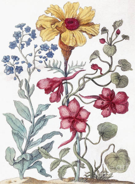Wall Art - Painting - Flowers From From Histoire Des Insectes De L'europe by Maria Sibylla Graff Merian