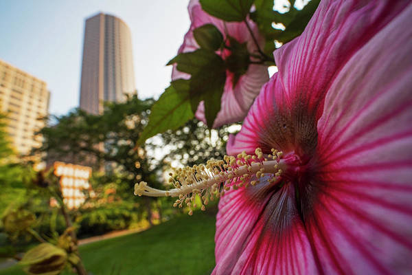 Photograph - Flowers Of Boston Hibiscus Flower Boston Ma by Toby McGuire