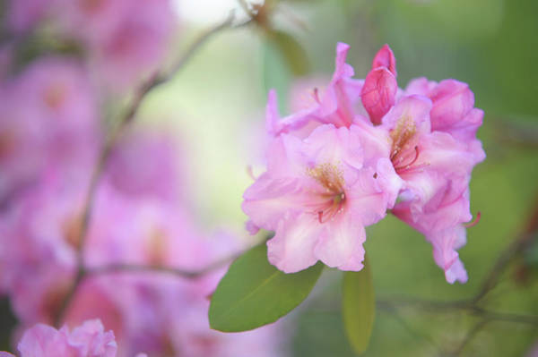 Buy Art Online Photograph - Flowers Of Pink Rhododendron by Jenny Rainbow