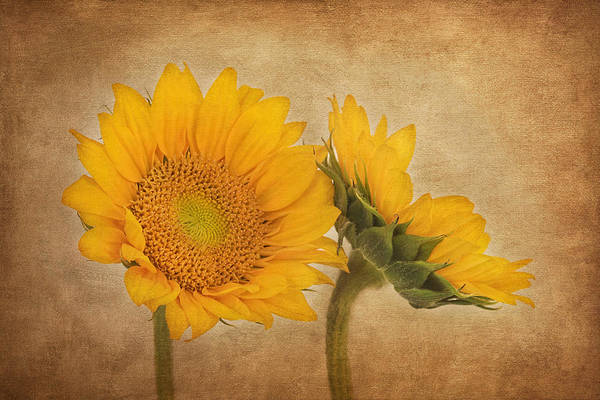 Photograph - Flowers Of The Sun by Kim Hojnacki
