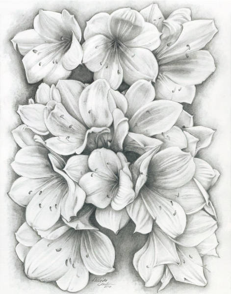 Drawing - Clivia Flowers Pencil by Melinda Blackman