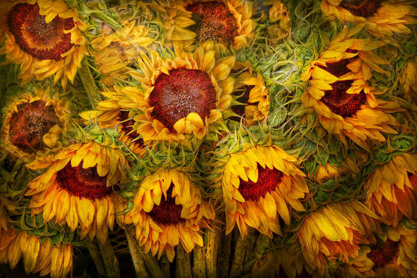 Photograph - Flowers - Sunflowers - You're My Only Sunshine by Mike Savad