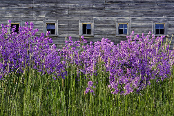 Juxtaposition Photograph - Flowers - Windows In Weathered Barn by Nikolyn McDonald