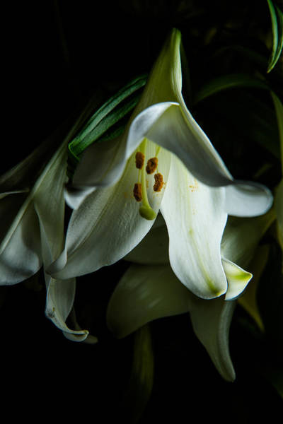 Photograph - Flowing White Lily by Dennis Dame