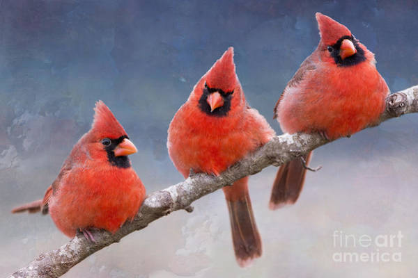 Wall Art - Photograph - Fluffy Cardinal Trio by Bonnie Barry
