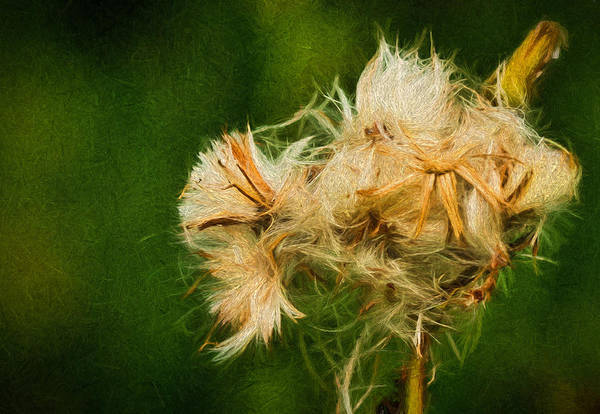 Photograph - Fluffy by Dave Bosse