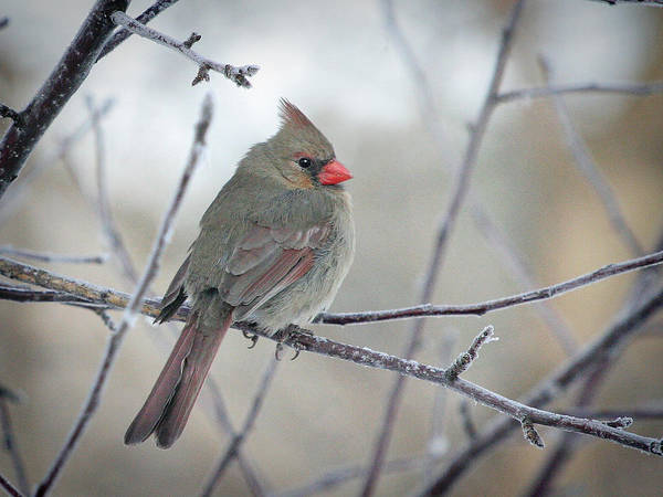 Wall Art - Photograph - Fluffy Female Cardinal In The Apple Tree by Laurie With